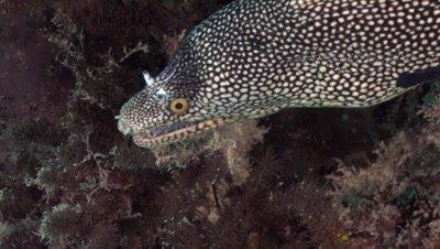 Honeycomb moray, close up of head