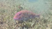 Goatfish Resting Over Seagrass