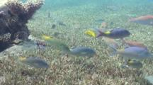 Goatfish Feeding Over Seagrass