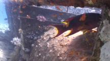 Lyretail Grouper Swims Through Wreckage