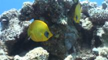Masked Butterflyfish Over Reef
