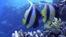 Red Sea Bannerfish Over Coral Reef