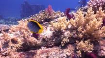 Blackbacked Butterflyfish Over Yolanda Wreckage