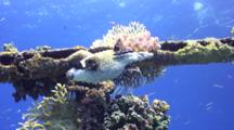 Masked Puffer Fish Hides In Wreck