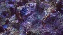 Sergeant Majors Guarding Eggs On Reef Wall