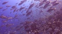 Huge School Of Parrotfish Over Reef Wall