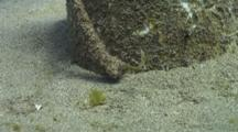 Fuzzy Ghost Pipefish Near Bottom Of Anchor Line