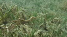 thorny seahorse over sea grass