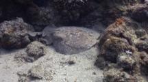 Torpedo Ray Resting On Sand