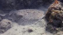 Close Up Of Torpedo Ray Pulling Out To Reef