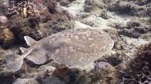 Close Up Of Torpedo Ray Swimming Over Reef