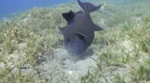 Blue Triggerfish Feeding