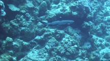 White Tip Reef Shark Swims Along Reef
