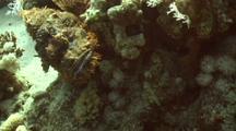 Bearded Scorpionfish Swims Towards Camera