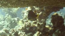 Moon Grouper Under Table Coral With Cleaner Wrasse