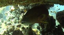 Moon Grouper Under Table Coral