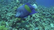 Arabian Angel Fish Over Reef