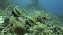 Red Sea Banner Fish Over Reef