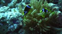 Redsea Anemone Fish With Cleaner Wrasse