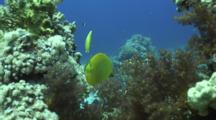 Masked Butterfly Fish Infront Of Coral Reef