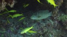Juvenile Napoleon Wrasse With Yellowsaddle Goatfish