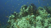 Anthias Over Reef