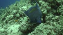 Arabian Angelfish Feeds On Reef