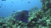 Arabian Angelfish Feeds On Reef