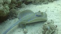 Blue Spotted Stingray On Sand