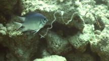 Pale Damselfish Guarding Eggs On Whip Coral