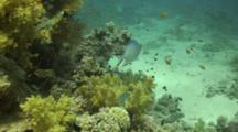 Pale Damselfish Over Coral Reef