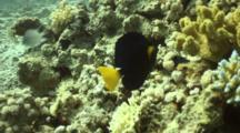 Yellowtail Tang Feeding On Reef