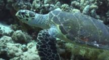 Hawksbill Turtle Over Reef