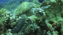 Hawksbill Turtle Swims Over Reef
