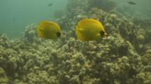 Masked Butterflyfish Swim Together Over Reef
