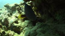 Lyretail Grouper Under Overhang