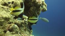 Red Sea Bannerfish Next To Reef
