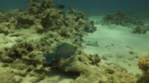 Rusty Parrotfish Feeding On Coral