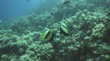 Red Sea Bannerfish Above Reef