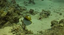 Threadfin Butterflyfish Swims Above Patchy Reef