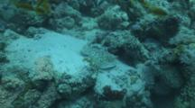 Leopard Torpedo Travels Over Reef