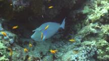 Bluespine Unicornfish Hides In Reef, Anthias Nearby