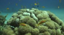 Anthias Over Soft Coral Reef