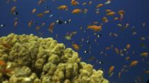 Anthias And Half Chromis Over Reef