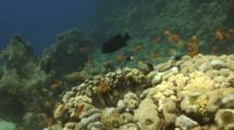 Anthias And Half Chromis Over Reef