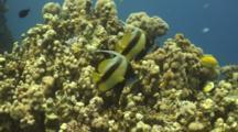 Redsea Bannerfish Next To Reef