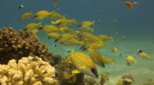 School Of Blue Striped Snapper Over Reef