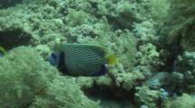 Emperor Angelfish Swims Along Reef