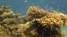 Porcupine Pufferfish Under Coral