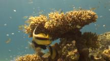 Red Sea Bannerfish Under Coral